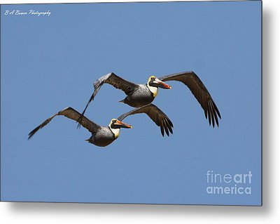 Duel Pelicans In Flight Metal Print by Barbara Bowen