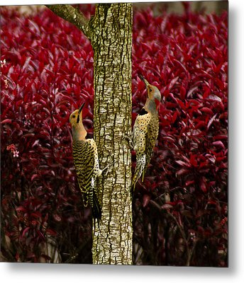 Dueling Woodpeckers Metal Print