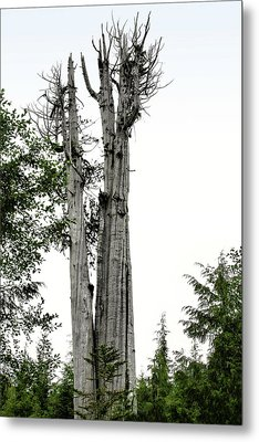 Duncan Memorial Big Cedar Tree - Olympic National Park Wa Metal Print