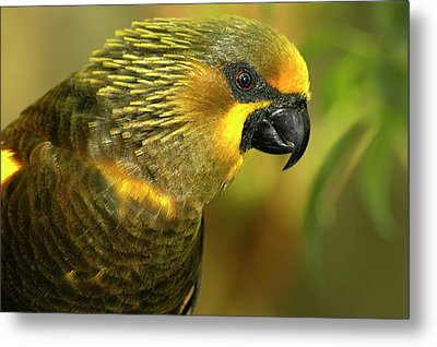 Duyvenbodes Lory Metal Print by Carolyn Marshall