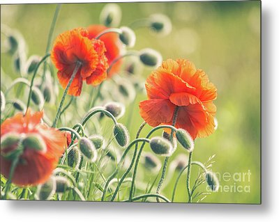 Early Morning Poppies Metal Print