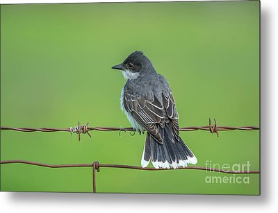 Eastern Kingbird Perch Metal Print