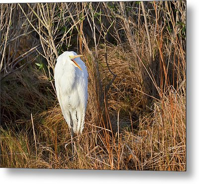 Egret With Something To Say Metal Print by George Randy Bass