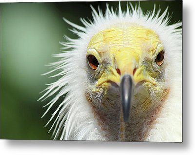 Egyptian Vulture Metal Print by David Stasiak