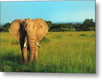 Elephant Metal Print by Sebastian Musial