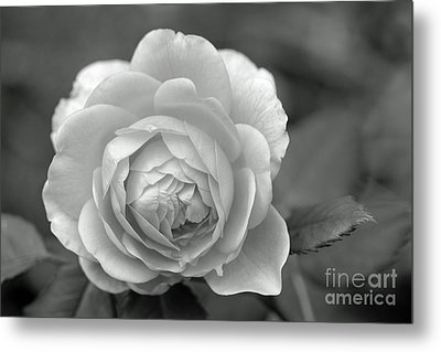 English Rose In Black And White Metal Print