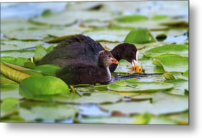 Eurasian Or Common Coot, Fulicula Atra, Duck And Duckling Metal Print by Elenarts - Elena Duvernay photo