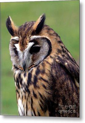 Eurasian Striped  Owl Metal Print