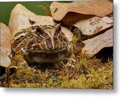Fantasy - Horned Frog Metal Print by Nikolyn McDonald