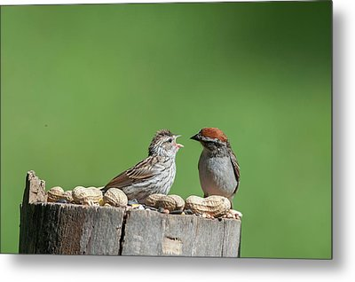 Feeding Time Doesn't Stop Even After Leave The Nest Metal Print by Dan Friend