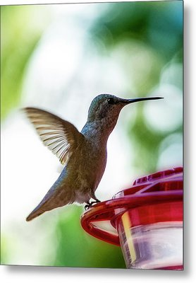 Metal Print featuring the photograph Female Anna's Hummingbird V24 by Mark Myhaver