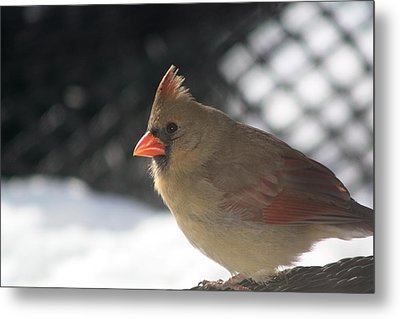 Female Cardinal Metal Print by Diane Merkle