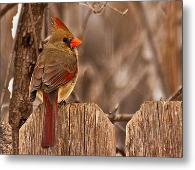 Female Cardinal On The Fence Metal Print by Edward Peterson