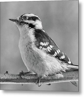 Female Downy Woodpecker In Winter Metal Print by Jim Hughes
