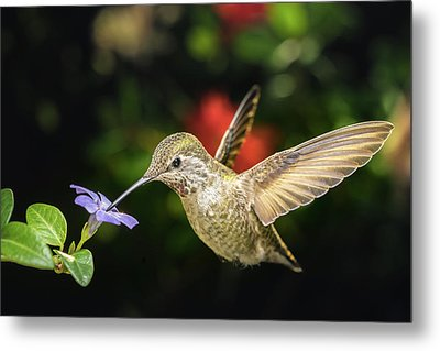 Metal Print featuring the photograph Female Hummingbird And A Small Blue Flower Left Angled View by William Lee