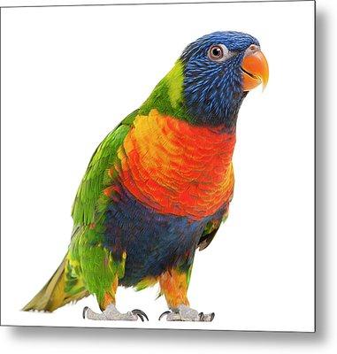 Female Rainbow Lorikeet - Trichoglossus Haematodus Metal Print