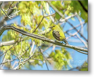 Female Scarlet Tanager Metal Print