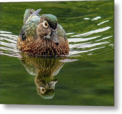Metal Print featuring the photograph Female Wood Duck by Jean Noren