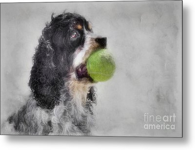 Metal Print featuring the photograph Fetching Cocker Spaniel  by Benanne Stiens