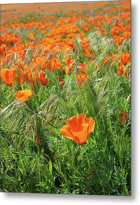 Field Of Orange Poppies- Art By Linda Woods Metal Print