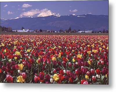 Field Of Tulips And Mount Baker Metal Print
