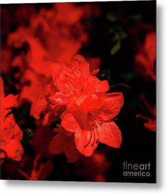 Fire Red Azaleas Metal Print