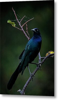 Male Boat-tailed Grackle Metal Print by Cyndy Doty