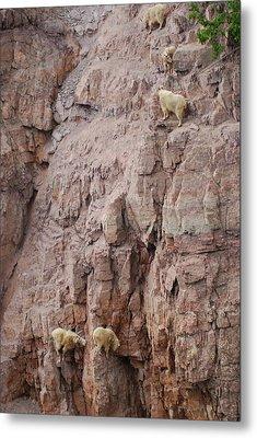 Five Goats Climbing Metal Print