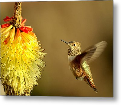 Flight Of The Hummer Metal Print by Mike  Dawson