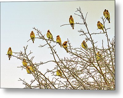 Flock Of Cedar Waxwings  Metal Print by Geraldine Scull