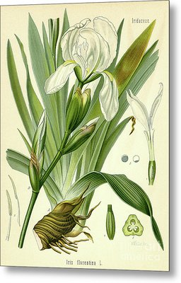 Florentine Iris  Metal Print by German School