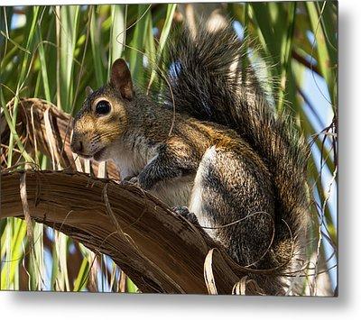 Florida Squirrel Metal Print