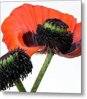 Flower Poppy In Studio Metal Print by Bernard Jaubert