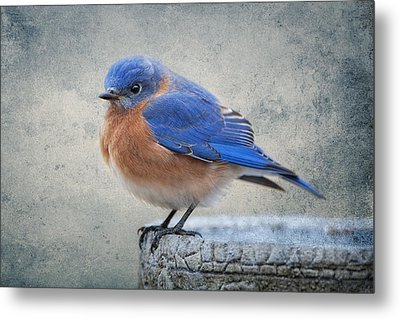 Fluffy Bluebird Metal Print