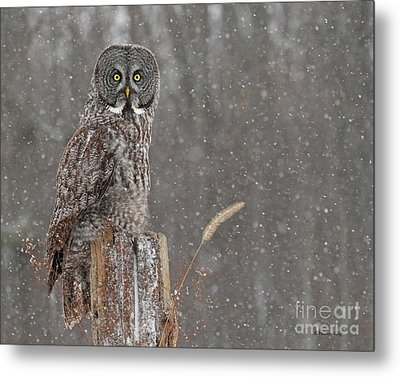 Flurries In The Forecast Metal Print by Heather King