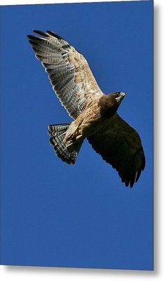 Flying Hawk Under A Blue Sky Metal Print by Mario Brenes Simon