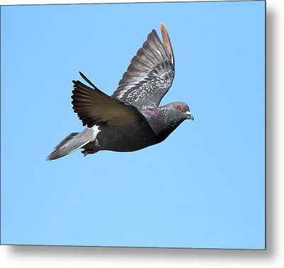 Flying Pigeon . 7d8640 Metal Print by Wingsdomain Art and Photography