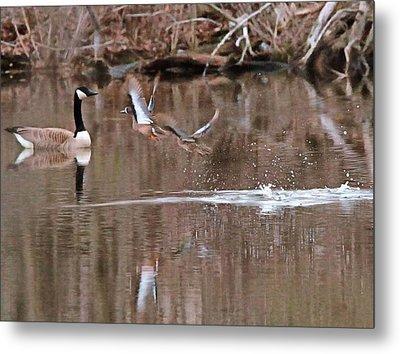 Flying Wood Ducks And Canada Goose Metal Print