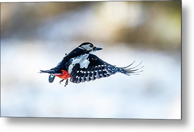 Flying Woodpecker Metal Print by Torbjorn Swenelius
