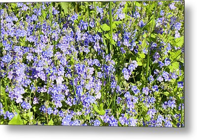 Forget-me-not - Myosotis Metal Print