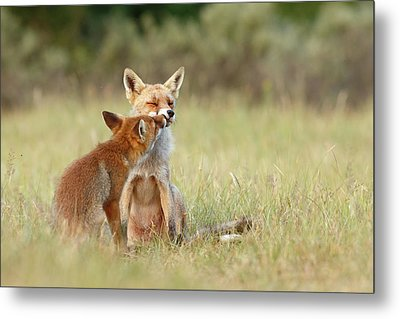 Fox Love Series - Kiss Metal Print