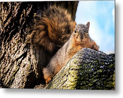 Fox Squirrel Watching Me Metal Print