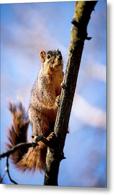 Fox Squirrel's Last Look Metal Print