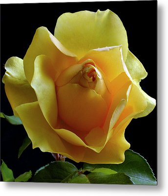 Freedom Rose Metal Print by Terence Davis