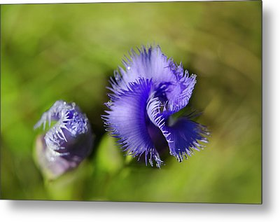 Fringed Gentian Metal Print by Ann Bridges