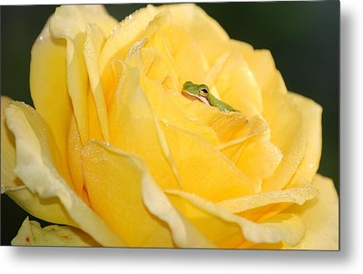 Frog In Yellow Rose Metal Print by Kathy Gibbons
