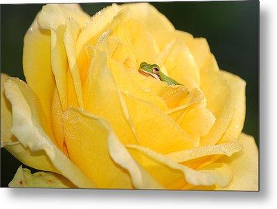 Frog In Yellow Rose Metal Print