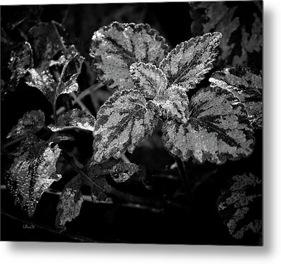 Frosted Hosta Metal Print