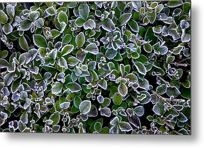 Frosty Hedgerow Metal Print
