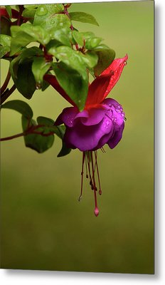 Fuchsia Fuchsia Metal Print by Ann Bridges